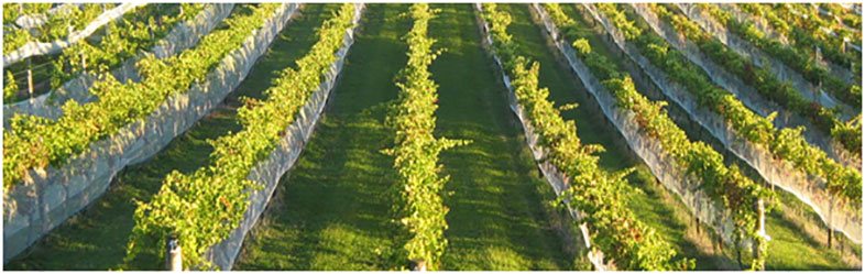 Vineyard at Omata Estate