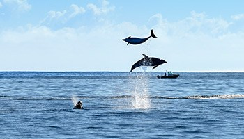 dolphins jumping, cruise ships, bay of islands