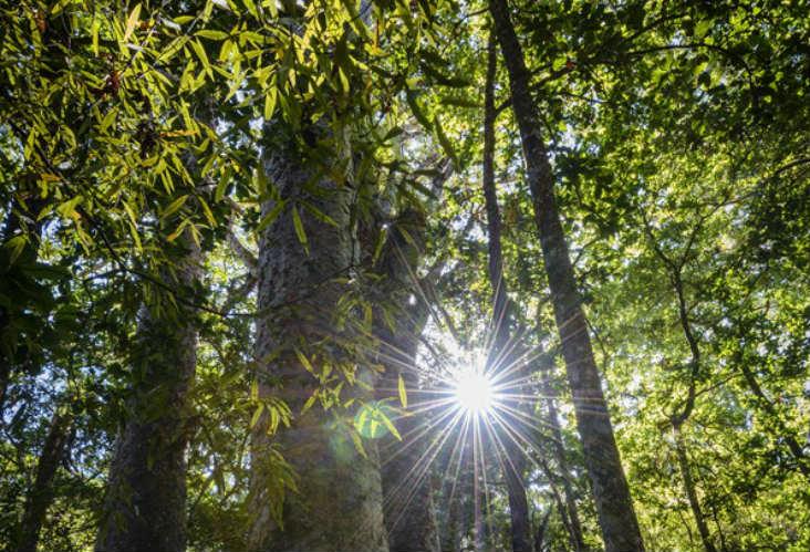 Kauri Trees, Hokianga