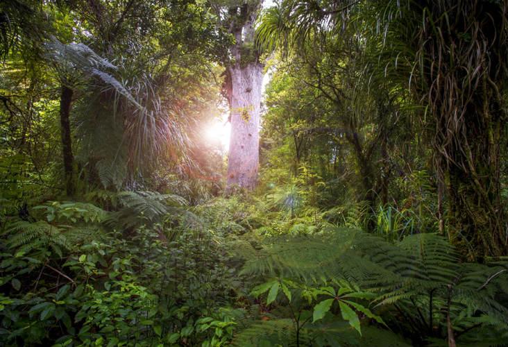 Tane Mahuta through bushes, Hokianga