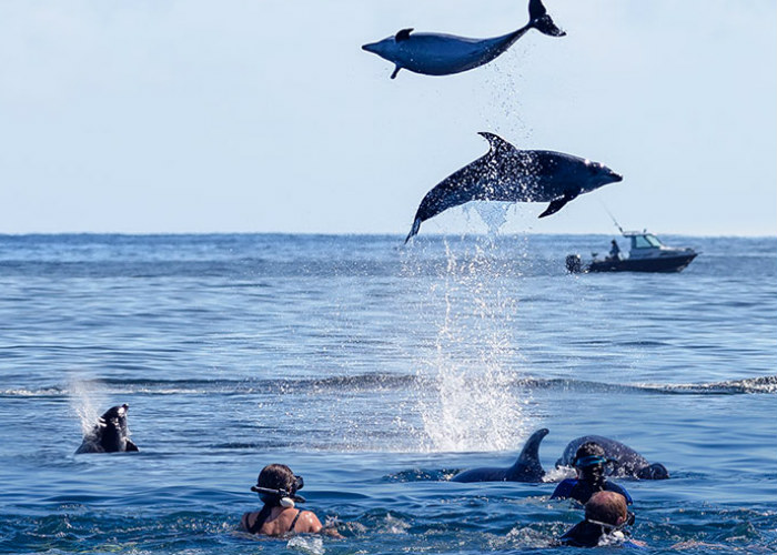 Swimming with Dolphins in Bay of Islands