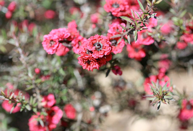 Pink manuka can be found blossoming in the spring around Cape Reinga.
