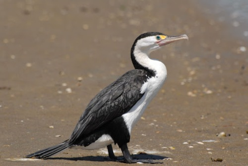 New Zealand Pied Shag