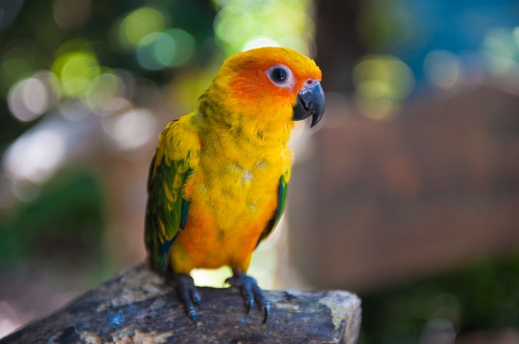 Orange and yellow parrot