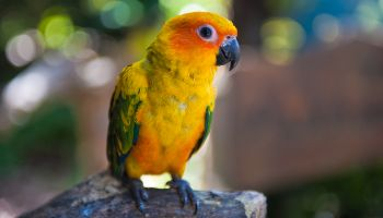 Orange and yellow parrot