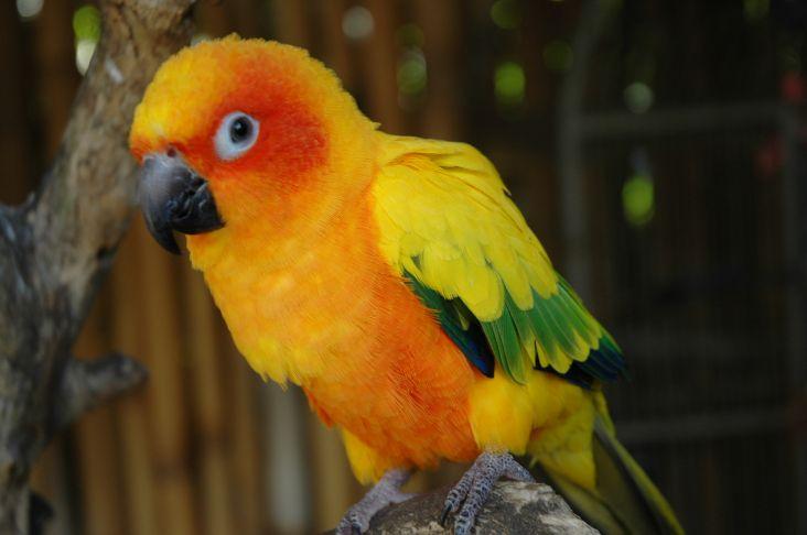 The Parrot Place Orange Parrot